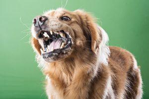 Tollwut oder auch lange Zeit als Hundswut bekannt
