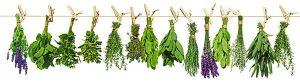 Heilpflanzen und Heilkräuter, Nierenschmerzen