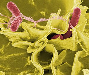 Enterobacter bakterien