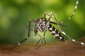 mosquito Stechmücken