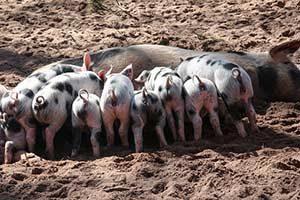 Schweinegrippe H1N1 Schweinbandwurm