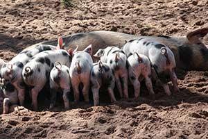 Schweinegrippe H1N1