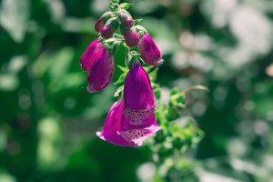 Roter Fingerhut Heilpflanze Heilkräuter