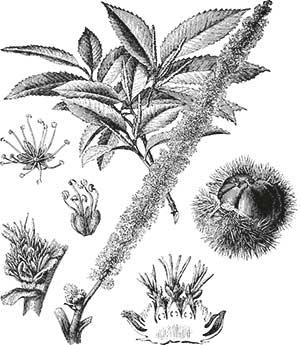 Bachblüte Nr. 30 Sweet Chestnut