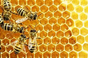 Manuka Honig Waben Bienen Heilwirkung Manuka Pflanze