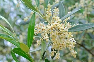 Olea europaea olive bachblüte
