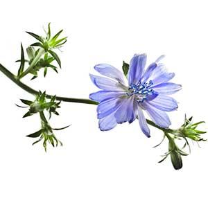 Chicory bachblüte