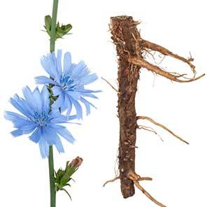 Chicory bachblüte und wurzel
