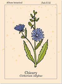 Bachblüte Chicory