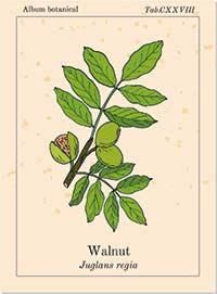 Bachblüte Nr. 33 Walnut