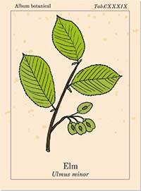 Bachblüte Nr. 11 Elm