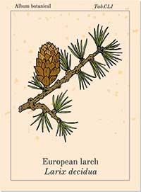 Bachblüte Nr. 19 Larch