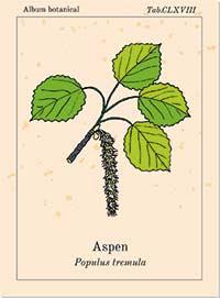 Aspen Bachblüte