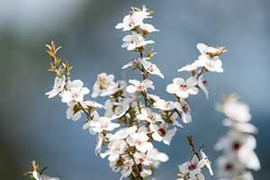 Manuka Honig Blüte