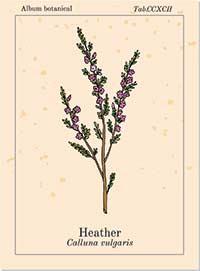 Bachblüte Nr. 14 Heather