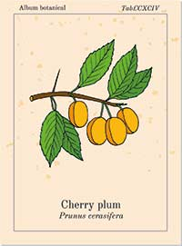 Bachblüte Nr. 6 – CHERRY PLUM