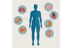 Organe im Menschlichen Körper