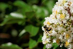 Manuka Honig Südseemyrte gewinnung Bienen Manuka Pflanze
