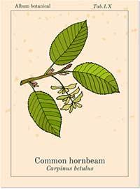 Bachblüte Nr. 17 – HORNBEAM