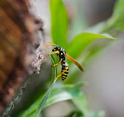 Hausmittel gegen Wespenstiche
