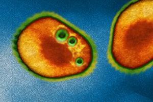 Novovirus, Zelle