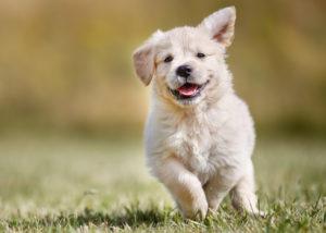 hund, welpe , tier , haustier , süß , veterinär , Kokosöl für Hunde