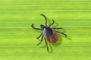Zecke; Holzbock; Ixodes; ricinus; Insektenschutz FSME Virus