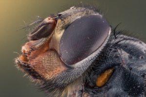 Lcihtmikroskop Insekt Fliege