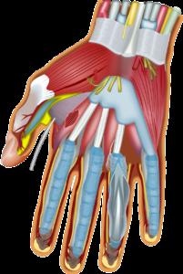 Hand anatomie sehnen muskeln Handchirurgie