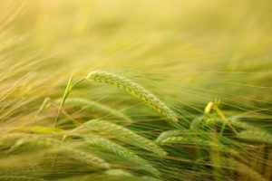 gerste , getreideanbau , gerstenanbau , getreide , feld , ähren , korn , landwirtschaft , getreidefeld , kornfeld , hordeum vulgare , hordeum süßgras , poaceae getreideart , anbau , gerstenfeld , ähre , nutzpflanze , natur , halme , samenkorn , stiel , stengel , ackerbau , pflanze
