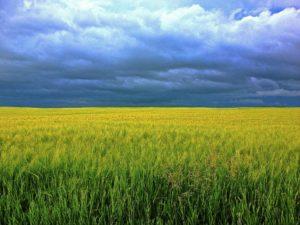 gerste , gras , wolken , feld , sonnenschein , korn , himmel , gesund , natürliche , weizen , bio , chlorella , superfood , vegan , vegetarier , pulsierenden , landwirtschaft , gesundheit , bauernhof , getreide , ernte , ländlich , saison , wachstum , landschaft , wiese , land