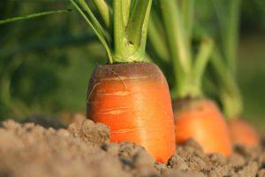 karotten, möhre Mohrrüben Mohrrübe möhren karotte vitamine möhren gemüse lebensmittel essen nahrung anbau natur garten pflanzen erde möhren