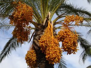 dattelpalme , palme , datteln , früchte , samen , pflanze , exotisch