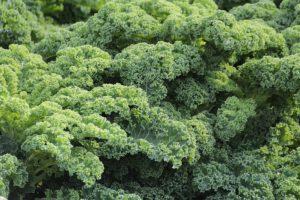 grünkohl , knoblauch , chips aus blatt kohl , blätter , kohl , ein gemüse , gewellte blätter , greens , gesunde , eisen , salat , green