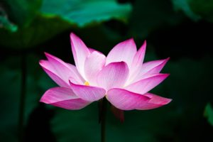 Zen Buddhismus China Lotus Blume