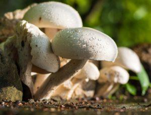 champignons , braune champignons , kochen , essen , lebensmittel , nahaufnahme , zubereitung , küche , schneidebrett , holz