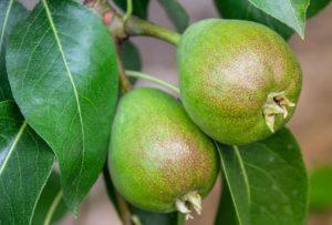 obst , birne , birnenkorb , süss , bio , markt , einkauf , gesund , lebensmittel , naturkost