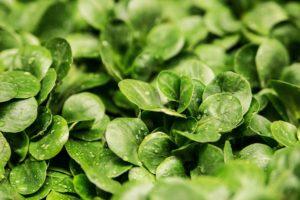 salat , feldsalat , ackersalat , salatblätter , grün , frisch , garten , gemüse