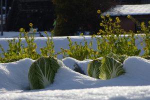 gemüse , chinakohl , vergewaltigung blüht , schnee , schnee szene , landwirtschaft , küche garten , gemüsegarten , gemüseanbau , vorfrühling , japan , japan landschaft