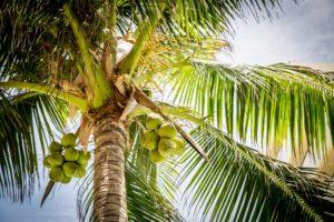 kokosnuss strand , baum , palm , kokosnüsse