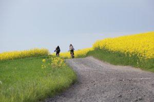 raps , feld , landschaft , gelb , rapsfeld , natur , rapsöl , blüte , frühling , rapsblüte , pflanze , himmel , rapspflanze , ackerpflanze , landwirtschaft , ackerbau , ländlich , blume , öl fahrrad weg pfad natur draußen spaziergang himmel