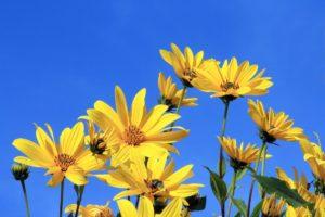 topinambur , gelbe blume , blauer himmel , gelb , blau , blume , natur , blüte , sommer , pflanze , sonnenblumen , schönes wetter , himmel , sonne , himmel blau , gelbe blüten , blühen