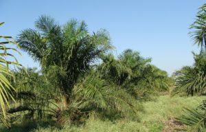 palmöl , baum , plantage , gartenbau , karnataka , indien