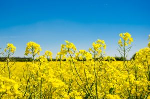 raps , feld , landschaft , gelb , rapsfeld , natur , rapsöl , blüte , frühling , rapsblüte , pflanze , himmel , rapspflanze , ackerpflanze , landwirtschaft , ackerbau , ländlich , blume , öl