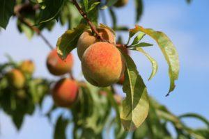 pfirsich , obst , frucht , rot , gelb , saftig , reif , lecker , süß , gesund , vitaminhaltig , kernobst , aufgeschnitten , fruchtfleisch , geniessen , vitamine , lebensmittel , nahrungsmittel , bio , sommer , nahaufnahme