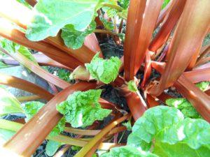 rhabarber , gemüse , gemüse-rhabarber , krauser rhabarber , rheum rhabarbarum , nutzpflanze , knöterichgewächs , polygonaceae , grün , rot , garten , beet