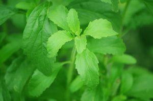 stevia , blatt , zuckerfabrik , süße , natürliche , diät , zucker , grün , süß , kraut , frisch , blätter , alternative , bio , landwirtschaft , zutat , süßstoff , gesundheit , aromatischen , botanik , saisonale