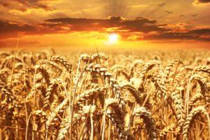 weizenfeld , weizen , getreide , korn , kornfeld , sonnenuntergang , lichtstimmung