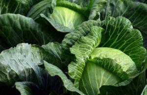 weißkraut , weißkohl , kraut , lebensmittel , kohl , nahrung , gemüse , gemüseanbau , landwirtschaft , gesund , kohlkopf , garten , nahrungsmittel , krautanbau , nutzpflanze , vitamine , weißkabis , kabis , blätter , roh , frisch , kulturpflanze , gemüsegarten , kopfkohl , herbst , ernährung