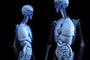 anatomische , anatomie , körper , darm , gesundheit , menschliche , medizinische , medizin , bauch , doppelpunkt , verdauung , verdauungssystem , knochen , brust , verdauen , enterale , enteron , magen , magen darm , leber , lunge , männlich , mann , orgel , rippen , brustkorb , skelett , harn , vesica , 3d , machen , rendern , gehirn , dissektion , intern , schädel
